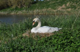 Wessex Rose Hotel Boat -Nesting swan lock 41 Caen Hill