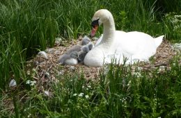 Swan with newly hatched cygnets